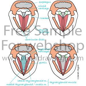Thumbnail-Larynx-Transverse-Plane-Tags-Latin